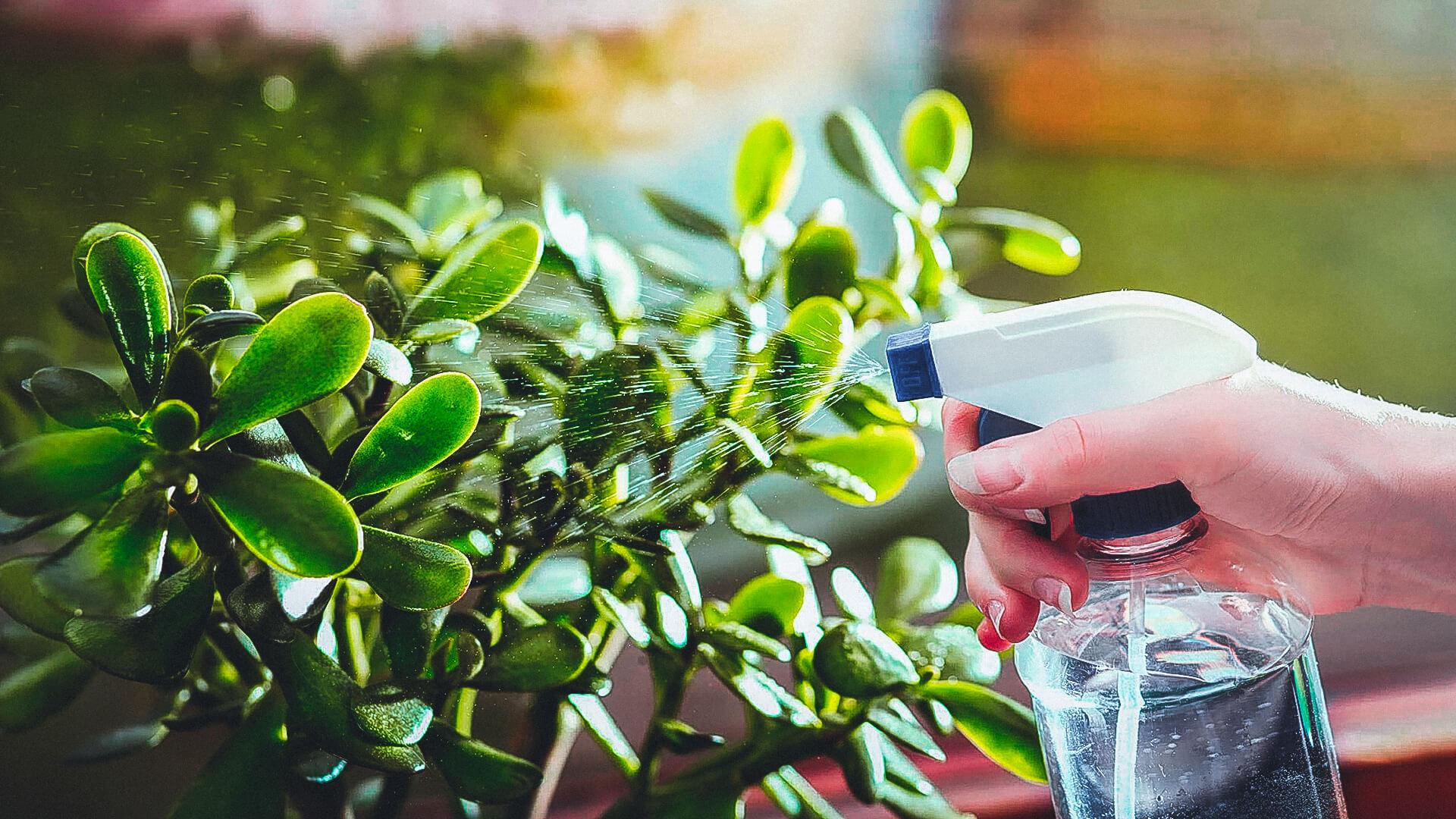Как выращивать толстянку в домашних условиях?